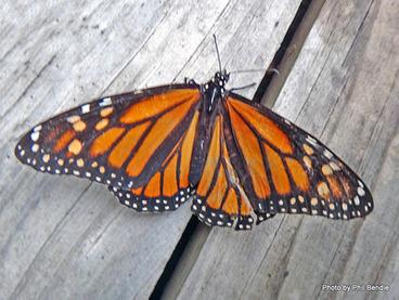 Image: Monarch butterfly , Danaus plexippus.
