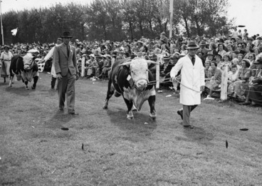 Image: Bulls being paraded at A & P show, Gisborne - Photograph taken by Alan Sayers