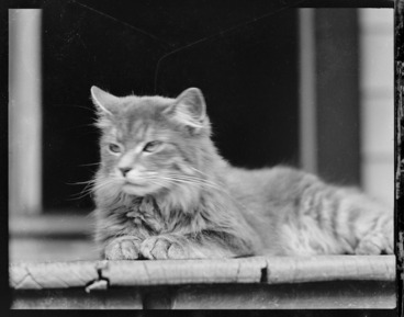 Image: Woolley family's persian cat