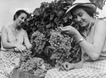 Image: Patricia and Diane Mazuran picking grapes at Mazuran's Vineyards, Henderson, West Auckland