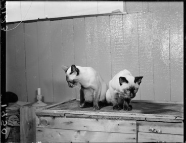 Image: Two Siamese cats