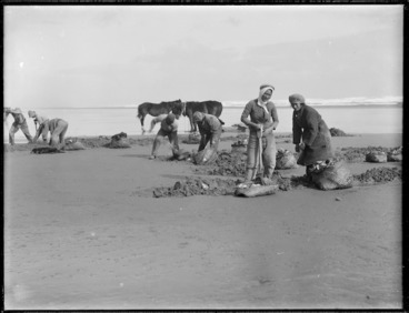 Image: Digging for toheroa, Northland
