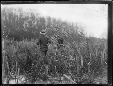 Image: Duck shooting, featuring unidentified hunters searching in reeds on bank, location unknown