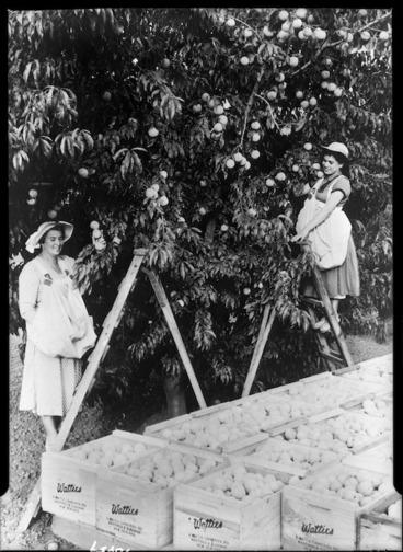 Image: Women picking peaches for Watties, Hawke's Bay