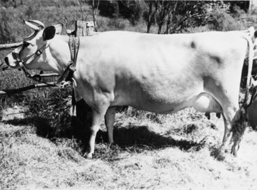 Image: A & P show; cattle; prize Jersey dairy cow.
