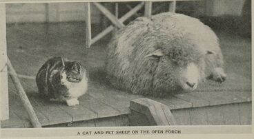 Image: A CAT AND PET SHEEP ON THE OPEN PORCH