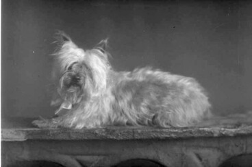 Image: Portrait of a dog - a long haired terrier - taken for Mrs Porter....