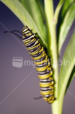 Image: Monarch caterpillar on swan plant