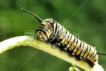 Image: Monarch Caterpillar