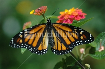 Image: Monarch Butterfly on Lantana