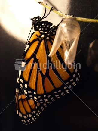 Image: Young monarch butterfly just emerged