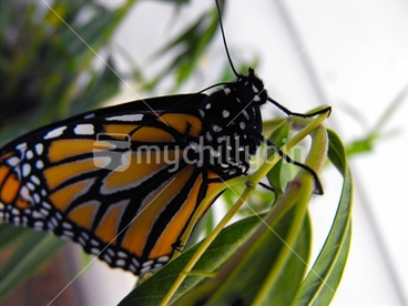 Image: New Monarch Butterfly on a Swan Plant