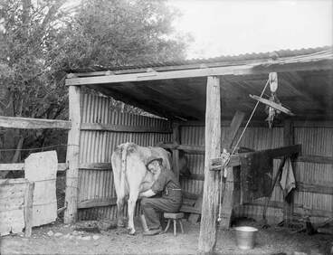 Image: Milking the house cow, early 1900s