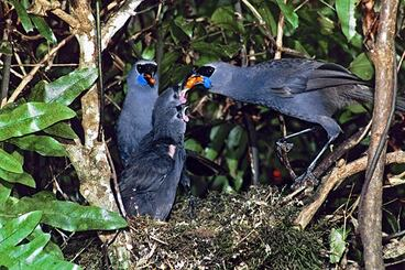 Image: Kōkako feeding chicks