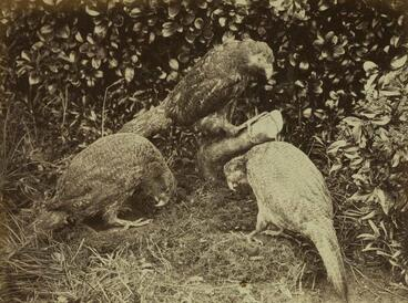 Image: Photograph: Three Kakapo