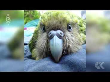 Image: Kakapo breeding season off to a great start: RNZ Checkpoint