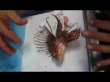 Image: Zebra Lionfish - Kermadec Expedition
