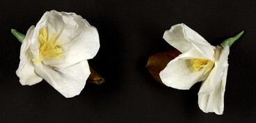 Image: White Camellia corsages, 1993