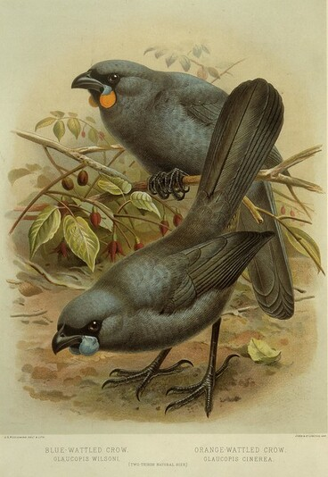 Image: Keulemans, John Gerrard 1842-1912 :Blue-wattled crow, Glaucopis wilsoni. Orange-wattled crow, Glaucopis cinerea. (Two-thirds natural size). / J. G. Keulemans delt. & lith. [Plate I. 1888].