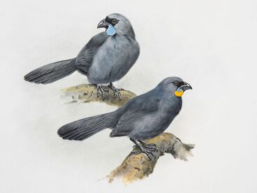 Image: North Island Kokako (above) / South Island Kokako