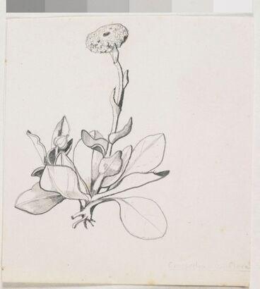 Image: Asteraceae - Craspedia uniflora