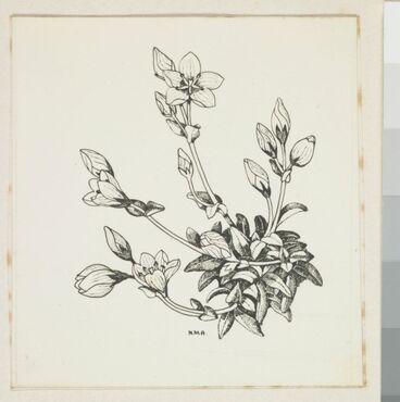 Image: Gentianaceae - Gentiana bellidifolia