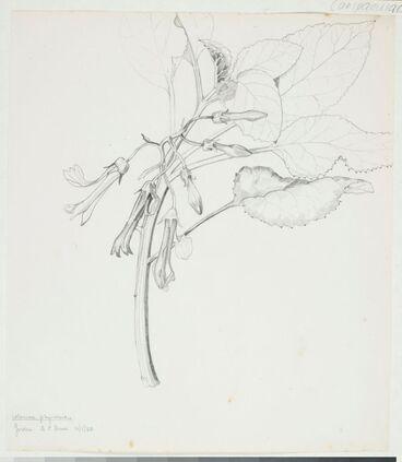 Image: Campanulaceae - Colensoa physaloides