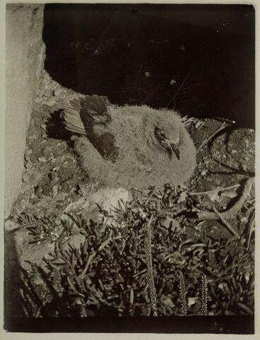 Image: Kermadec petrel fledgling