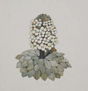 Image: Brassicaceae - Notothlaspi rosulatum