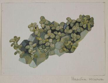 Image: Asteraceae - Haastia recurva