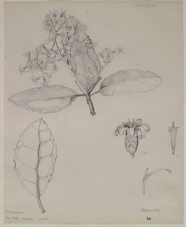 Image: Asteraceae - Olearia rani