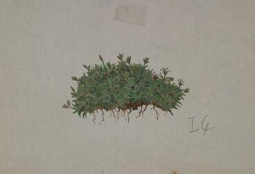 Image: Poaceae - Poa pygmaea