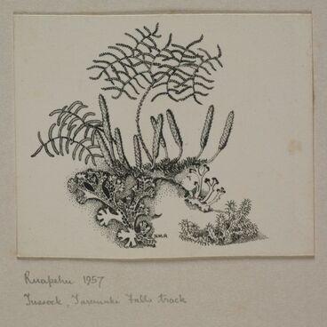 Image: Glechinia, Lycopodium, lichens and moss