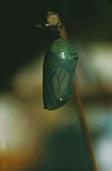 Image: After 23 Days the Chrysalis Darkens, Wings Show Through