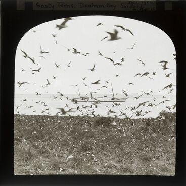 Image: Sooty terns, Denham Bay, Sunday [Raoul] Island