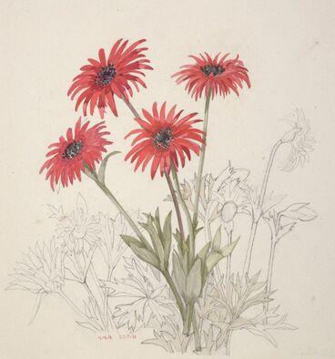 Image: Ranunculaceae - Anemone fulgens
