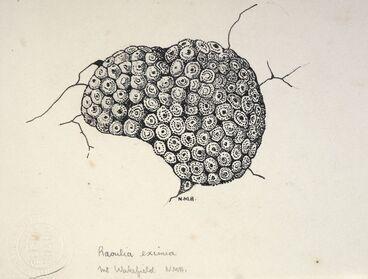 Image: Asteraceae - Raoulia eximia