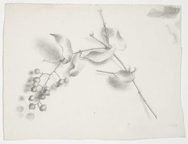 Image: Harris, Emily Cumming, 1837?-1925 :[Supplejack berries and leaves]. -/1/97. [1897].