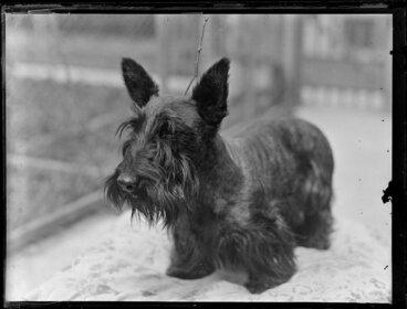 Image: Scottish terrier dog