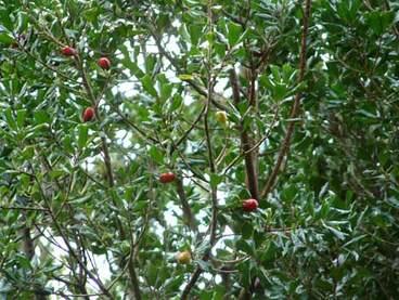 Image: Tawapou foliage and fruit