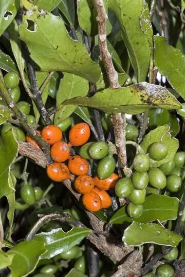 Image: Pigeonwood fruit