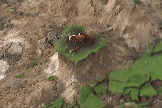 Stranded cows rescued from quake island near Kaikoura