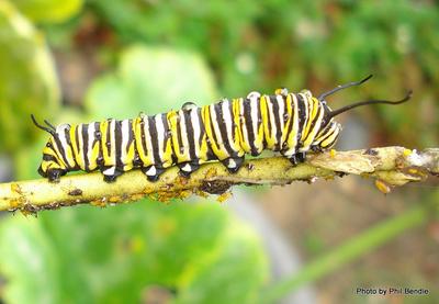 A Monarch butterfly caterpillar , Danaus plexippus