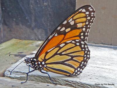 Monarch butterfly , Danaus plexippus.