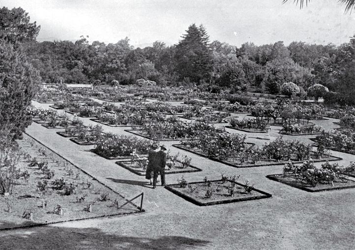 The rose garden, Botanic Gardens, Christchurch (formerly the Christchurch Domain)