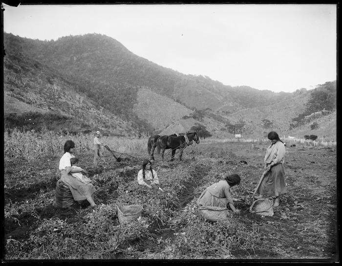 Women harvesting kumara