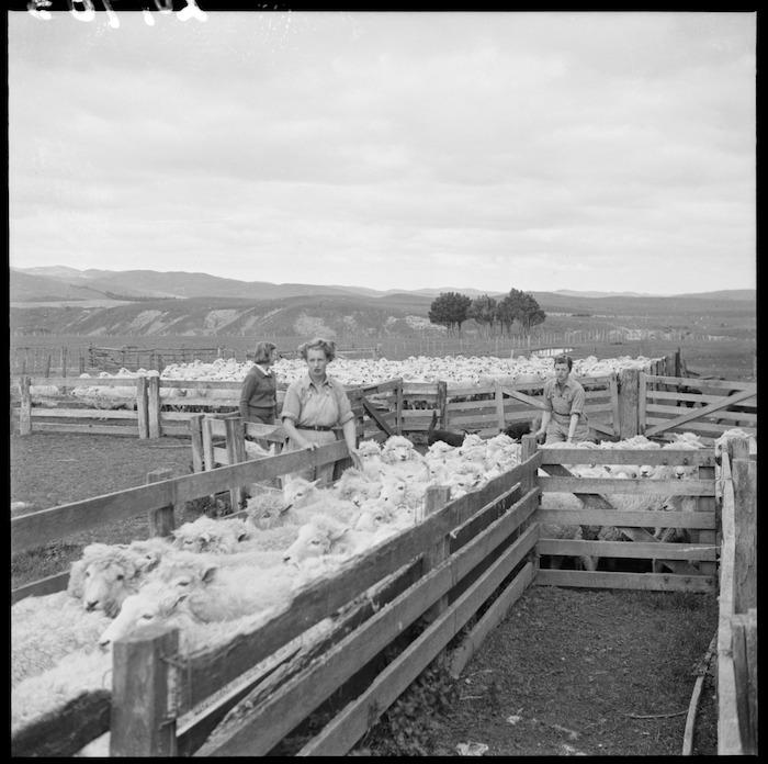 Land girls moving sheep, Mangaorapa, Hawke's Bay
