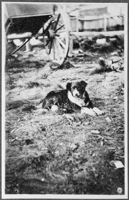 Sheep dog owned by James MacKenzie