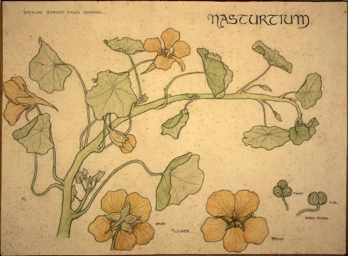 [Eise, Ida Gertrude] 1894-1978 :Nasturtium. Drawn direct from nature. [1912]