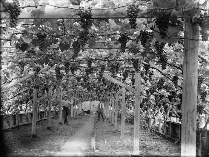 Grape vines in a glasshouse